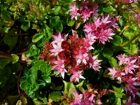 Sedum Spurium (Dragon�s Blood Sedum; Tricolour Stonecrop; Two Row Stonecrop)