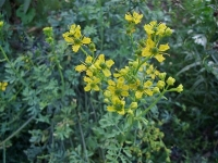 Rue (Common Rue, Herb of Grace)