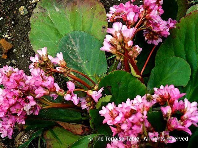 Pink Elephant Ears Plants