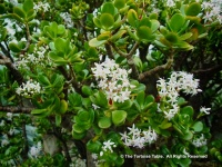 Jade Plant (Friendship Tree,  Money Plant, Money Tree, Crassula Ovata)