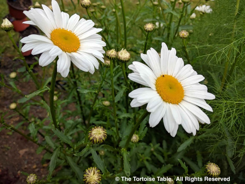 Browse and search the tortoise table plant database Where did daisies originate