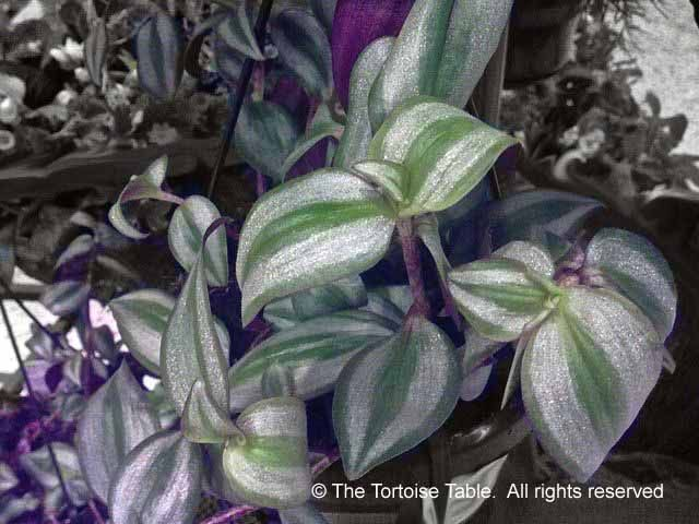 Browse and search the tortoise table plant database - Wandering jew plant name ...