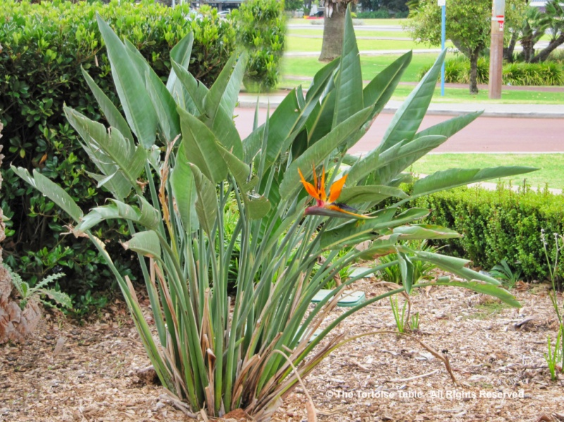 how to grow giant bird of paradise from seed