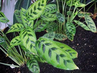 Prayer Plant - Plant Categories - The Tortoise table
