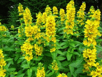 Browse and search the tortoise table plant database for Garden trees with yellow flowers