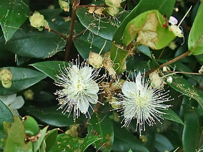 Commonmyrtle Flowers on Myrtle  Common Myrtle  True Myrtle  Sweet Myrtle    Plant Categories