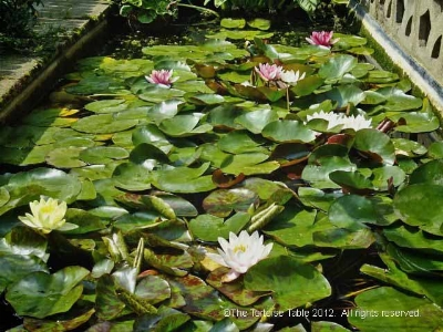 Browse and search the tortoise table plant database water lily aquatic lily pond lily lotus sacred water lotus mightylinksfo
