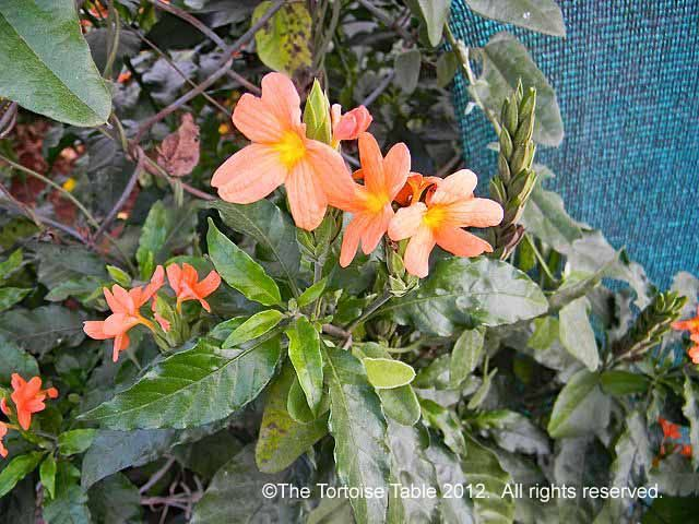 Crossandra (Firecracker Flower, Kanakamparam) .