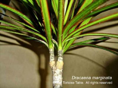 Cornstalk dracaena