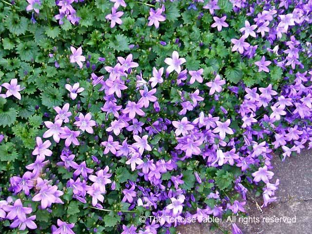 Flowers Are Mainly In Shades Of Pale Blue Through To Lilac Or Purple But There Some Varieties With White See Also Campanula Upright
