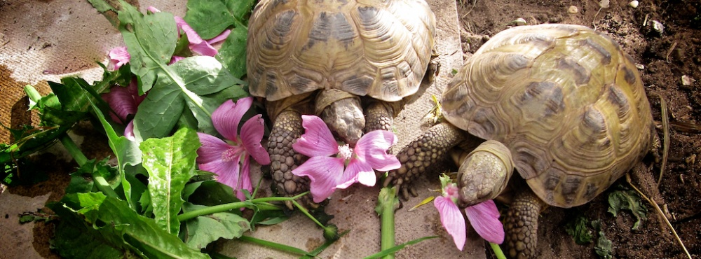 Understanding diets for Tortoise table org uk site plants